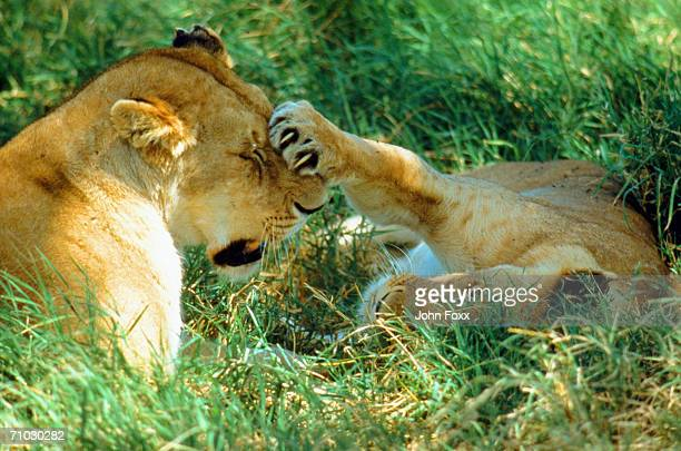 Lion cub playing with lioness on grass