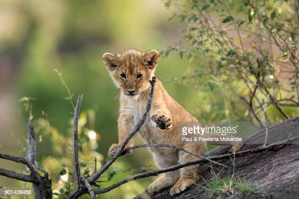 lion cub playing with tree branches - lion cub stock pictures, royalty-free photos & images
