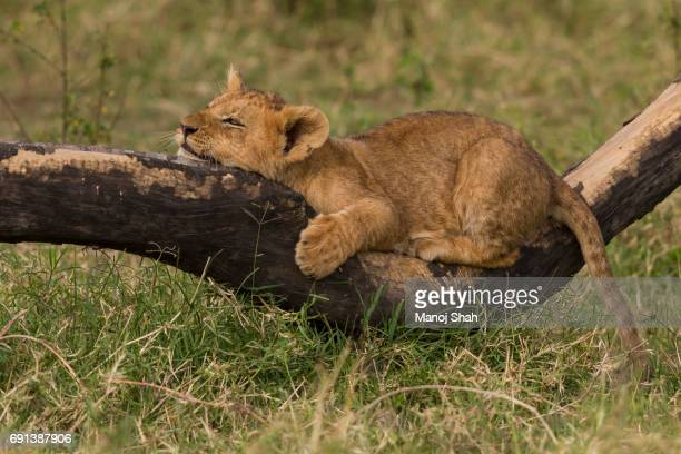 Lion cub resting on a fallen branch.