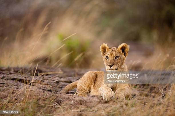 lion cub resting on rocky outcrop in tall grass - lion cub stock photos and pictures