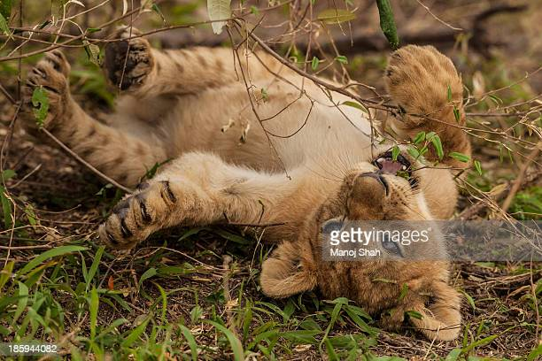 Lion cub rests happily on its back