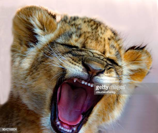 Lion cub roaring, South Africa
