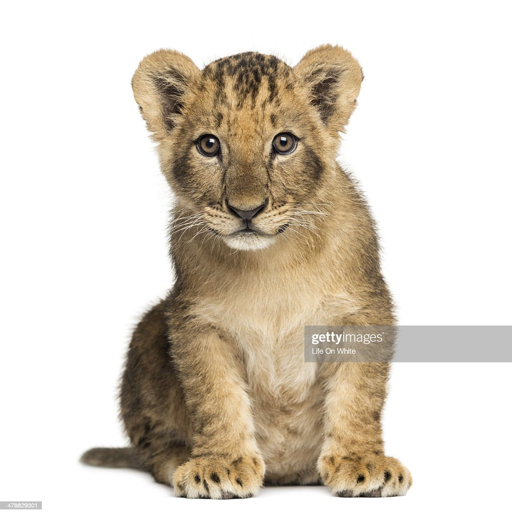 Lion cub sitting, looking at the camera : Foto de stock