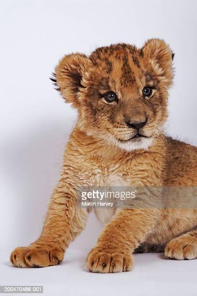 Lion cub (Panthera leo) sitting up, close-up