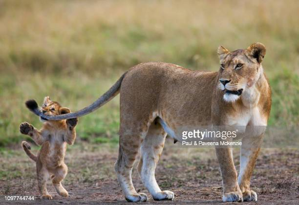 lion cub standing on hind legs biting lionesses' tail - lion cub stock photos and pictures