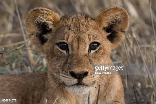 lion cub (panthera leo), tsavo, kenya, africa - lion cub stock-fotos und bilder