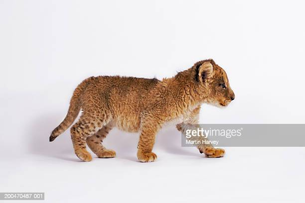 Lion cub (Panthera leo) walking, side view