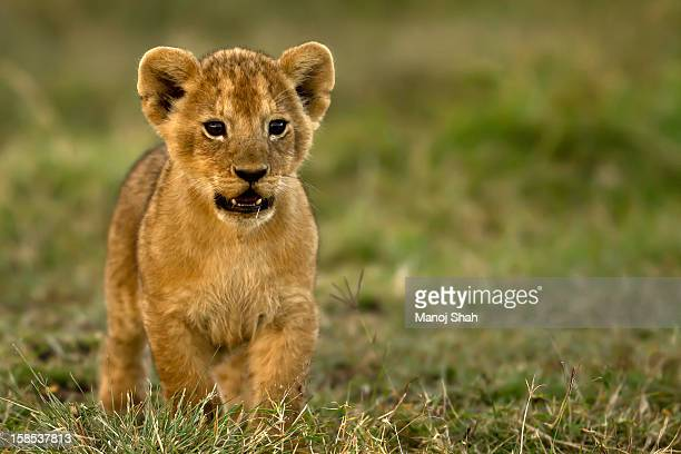 lion cub watching other cubs play