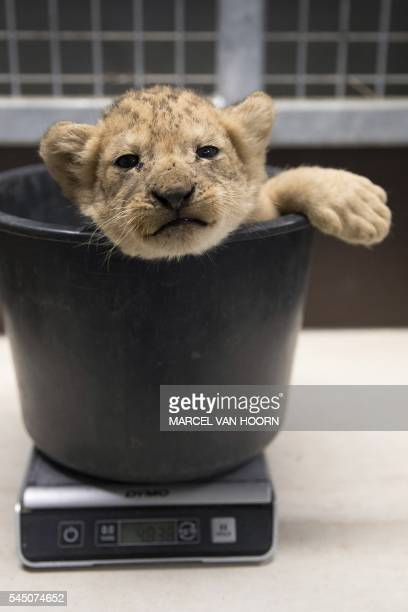 Lion cub ,who was born at the Gaia Zoo in Kerkrade, the Netherlands, sits in a weighing scale, on July 5, 2016. / AFP / ANP / Marcel van Hoorn /...