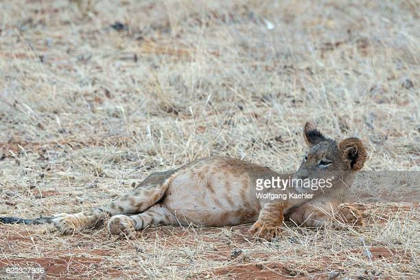 A lion cub with a full belly after feeding at a zebra kill in the Samburu National Reserve in Kenya