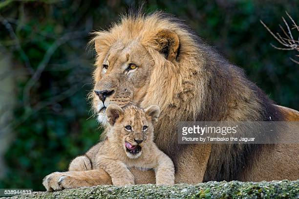 lion cub with father - male animal stock pictures, royalty-free photos & images