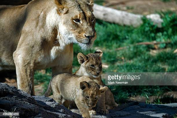 Lion cub with mother - panther leo