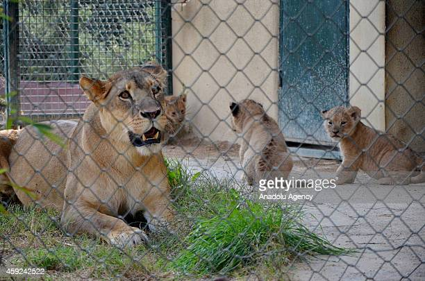 Lion cubs born in Darica Faruk Yalcin Zoo and Botanic Park are seen at the zoo in Kocaeli Turkey on November 19 2014 Lion cubs will be named...