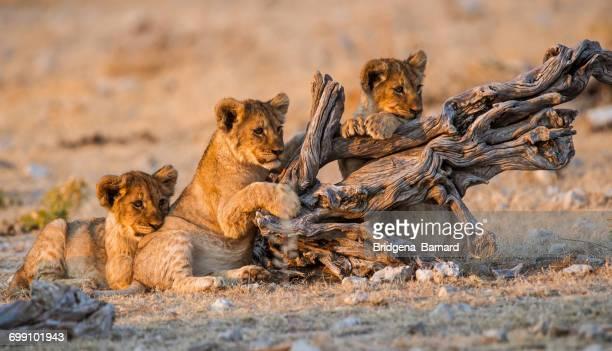 Lion Cubs, Etosha National Park, Namibia
