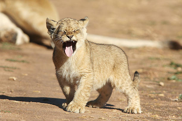 Cutest lion in the world - photo#55