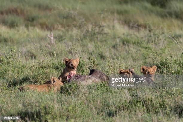 Lion Cubs Feast On Wildebeest