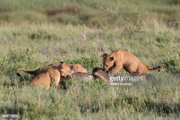 Lion Cubs Feast