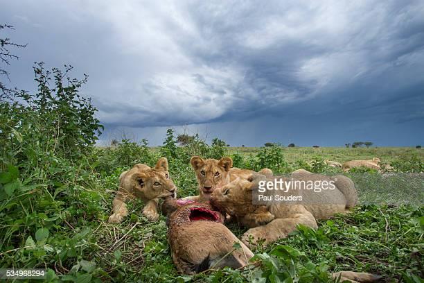 Lion cubs feeding on Wildebeest