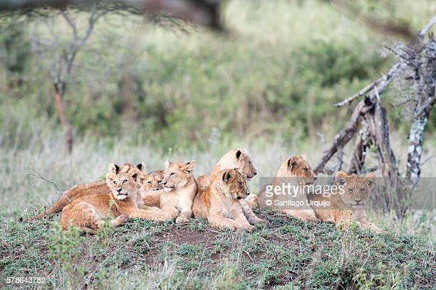 Lion cubs lying down