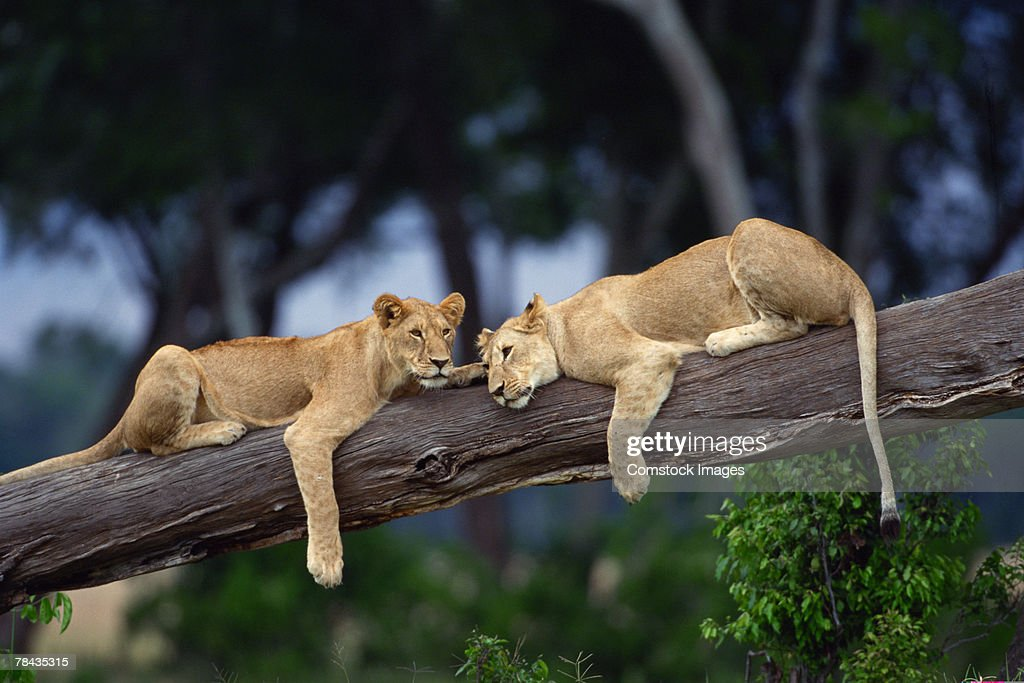 Lion cubs lying on tree branch , Kenya , Africa : Stockfoto