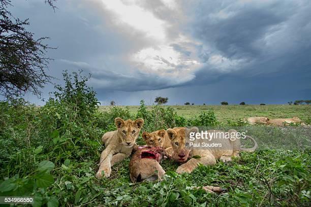 Lion Cubs on Ndutu Plains, Tanzania