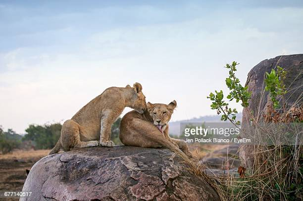 Lion Cubs On Rock At Serengeti National Park