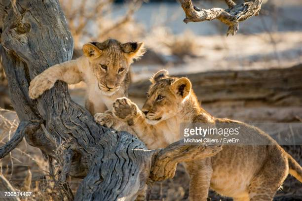 lion cubs outdoors - lion cub stock photos and pictures