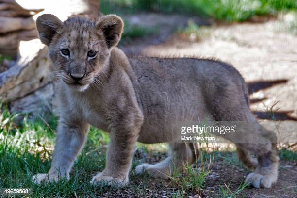 Lion cubs, panther leo