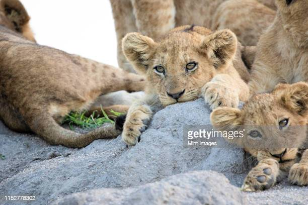 lion cubs, panthera leo, lie together on a termite mound, ears forward, looking out of frame - out of frame stock pictures, royalty-free photos & images