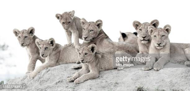 lion cubs, panthera leo, lie together on a termite mound, looking out of frame - out of frame stock pictures, royalty-free photos & images