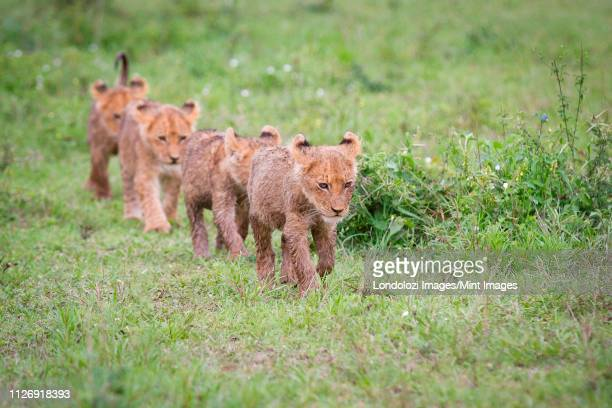 lion cubs, panthera leo, walk in a line in green grass, looking away, wet fur - small group of animals stock pictures, royalty-free photos & images
