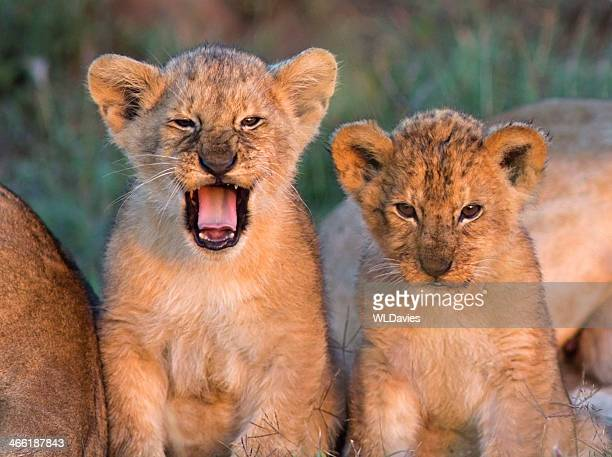 lion cubs - lion cub stock-fotos und bilder