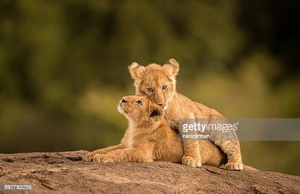 lion cubs - lion cub stock photos and pictures
