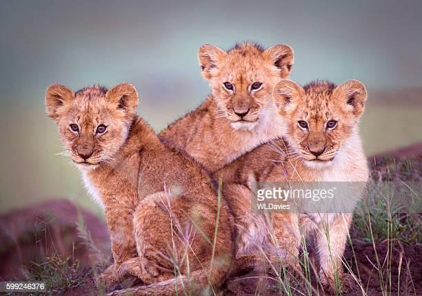 lions cubs  - jeune animal photos et images de collection