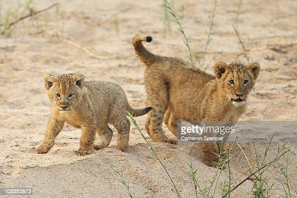 Lion cubs play on the banks of the Makhutswi River at sunrise on July 21 2010 in the Edeni Game Reserve South Africa Edeni is a 21000acre wilderness...