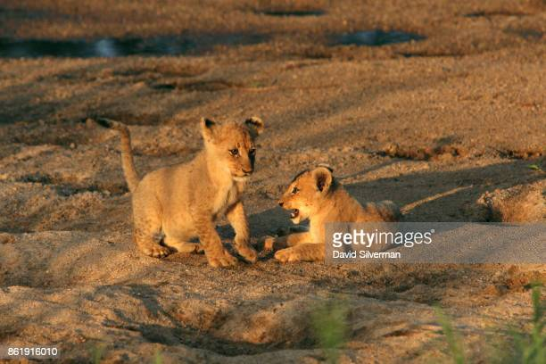 Lion cubs play on the banks of the Sabi River on March 30 2015 at the Sabi Sands private game reserve in the eastern province of Mpumalanga South...