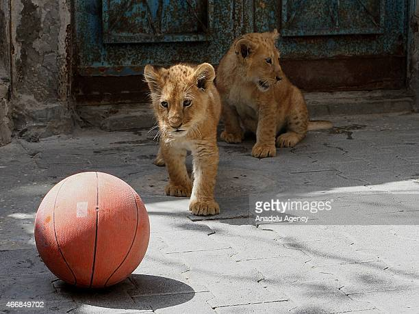 Lion cubs play with ball outside the home of Gazan man Sadettin al Jamal in Rafah Gaza Strip on March 19 2015 Sadettin al Jamal who stays at Shabbura...