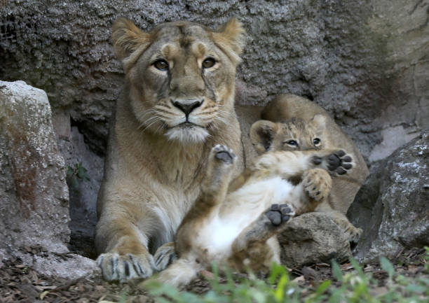 ITA: Two Asiatic Lions Were Born At The Bioparco In Rome