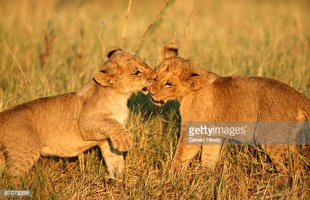 Lion Cubs (Panthera leo) Playing in the Bushveld
