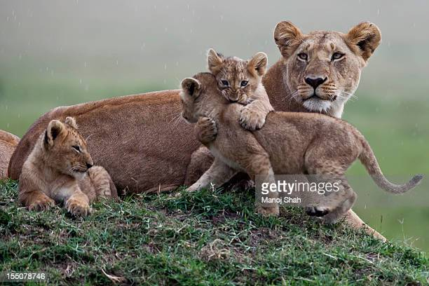 Lion cubs playing with mother sitting nearby