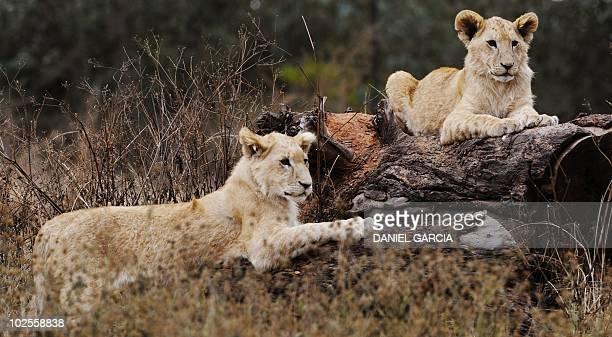 Lion cubs rest at Lions Park near Pretoria on June 29 2010 AFP PHOTO / DANIEL GARCIA