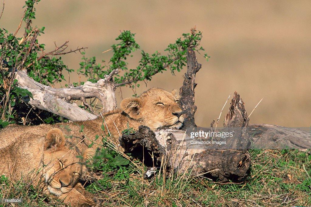 Lion cubs resting on logs , Kenya , Africa : Stockfoto
