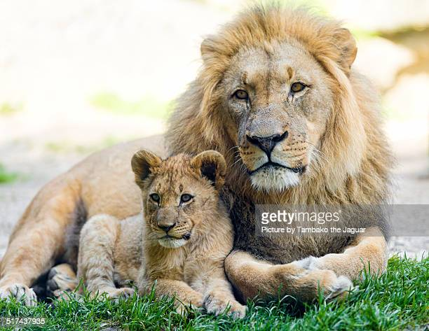 Lion dad and cub posing