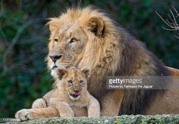 lion dad posing with his cub - male animal stock pictures, royalty-free photos & images
