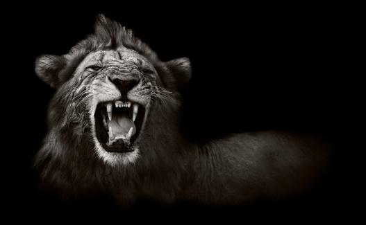 Lion displaying dangerous teeth 176751844