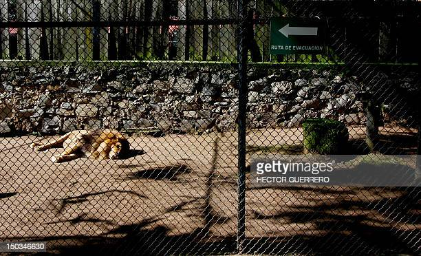 Lion dozes in its cage at Villa Fantasia zoo in the Zapopan municipality, metropolitan area of Guadalajara, Mexico, on August 15, 2012. The beast was...