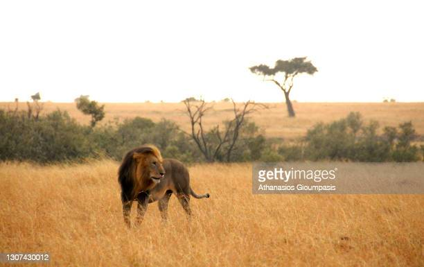 Lion during the sunset on August 02, 2008 in Maasai Mara National Reserve, Kenya.