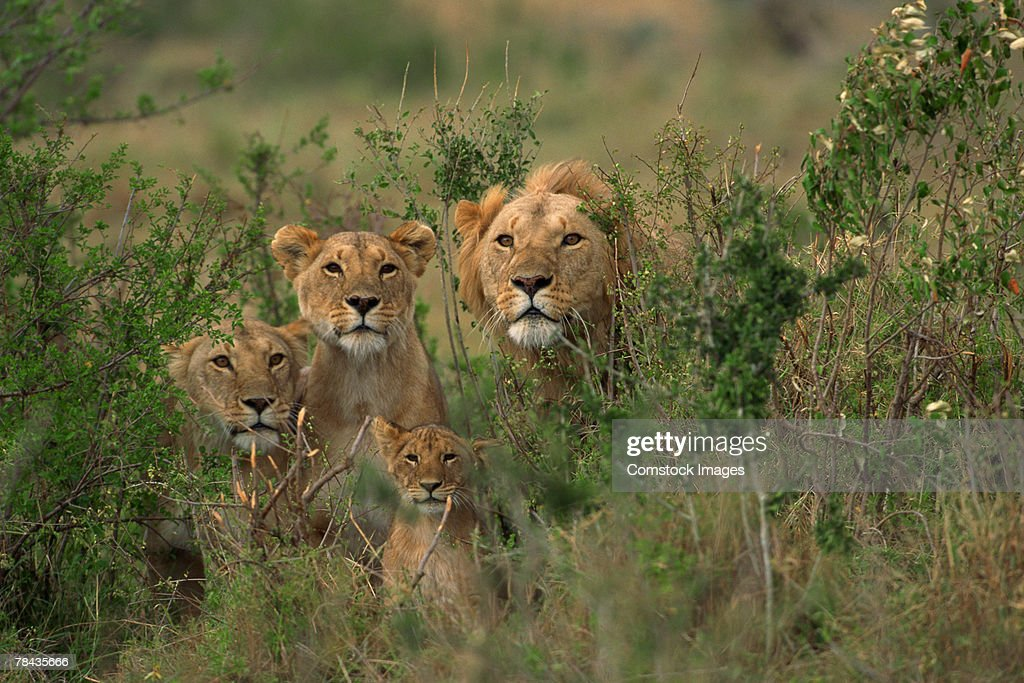 Lion family in brush , Kenya , Africa : Stockfoto