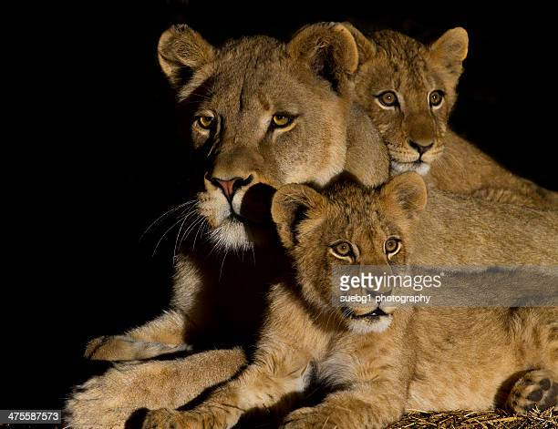 lion family - lion cub stock photos and pictures