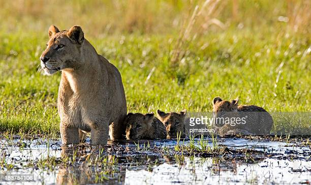 Lion family wading through shallows